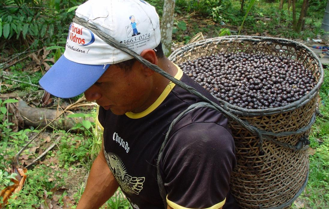 Açai berry harvest - man with basket